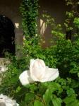 Le Domaine de Marie-Antoinette cu trandafirul alb